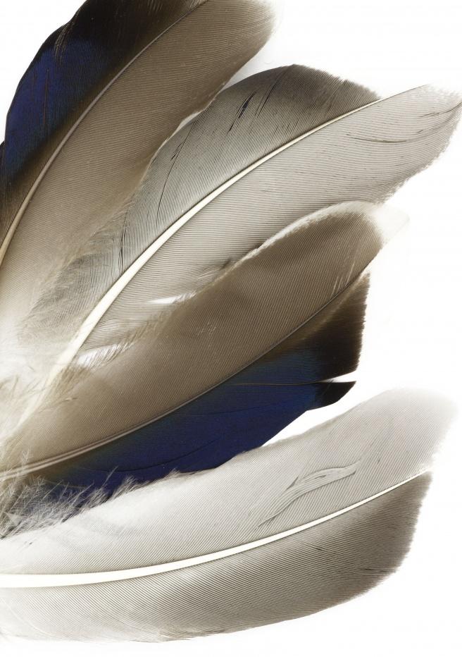 Fly Tying Materials Fiery Brown Mallard Flank Feathers